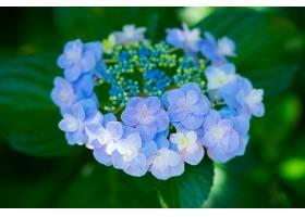 绣球花,花,花,自然,特写镜头,紫色,花,壁纸,图片