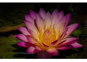 水,莉莉,花,花,莉莉,衬垫,粉红色,花,壁纸,图片