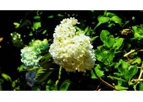 绣球花,花,花,自然,白色,花,壁纸,图片