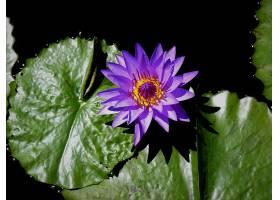 水,莉莉,花,花,莉莉,衬垫,紫色,花,壁纸,(4)图片