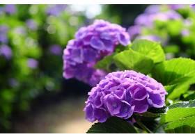 绣球花,花,花,自然,紫色,花,深度,关于,领域,壁纸,图片