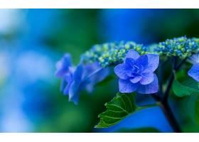 绣球花,花,花,蓝色,花,壁纸,(2)图片
