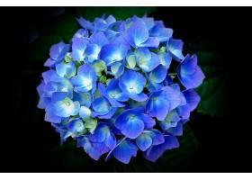 绣球花,花,花,蓝色,花,壁纸,图片