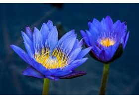 水,莉莉,花,花,蓝色,花,自然,壁纸,图片