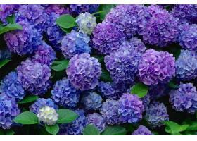 绣球花,花,花,蓝色,花,紫色,花,壁纸,图片
