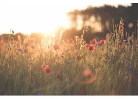 地球,领域,自然,夏天,花,红色,花,快活的,深度,关于,领域,罂粟,壁