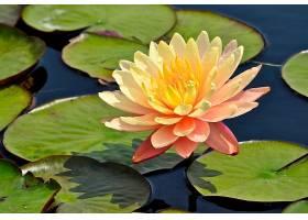 水,莉莉,花,水,自然,叶子,粉红色,花,花,壁纸,图片