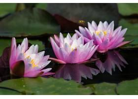 水,莉莉,花,水,花,粉红色,花,自然,叶子,反射,壁纸,图片