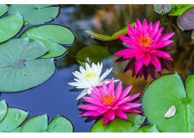 水,莉莉,花,自然,水,花,白色,花,粉红色,花,壁纸,图片