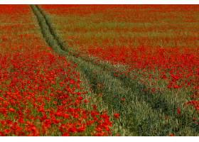 地球,领域,自然,小麦,罂粟,夏天,花,红色,花,壁纸,