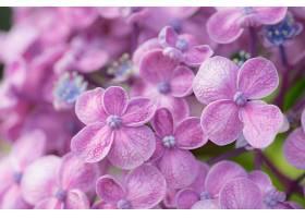 绣球花,花,巨,自然,花,粉红色,花,壁纸,图片