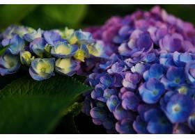 绣球花,花,特写镜头,花,蓝色,花,壁纸,(1)图片