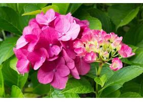 绣球花,花,粉红色,花,自然,植物,壁纸,图片