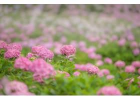 绣球花,花,粉红色,花,花,污迹,壁纸,图片