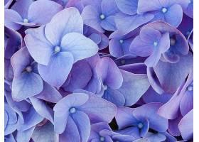 绣球花,花,紫色,花,壁纸,图片