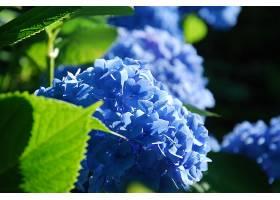绣球花,花,自然,特写镜头,花,蓝色,花,壁纸,图片