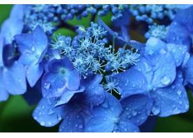 绣球花,花,自然,花,水,滴,蓝色,花,巨,壁纸,图片