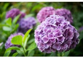 绣球花,花,自然,花,特写镜头,紫色,花,壁纸,图片