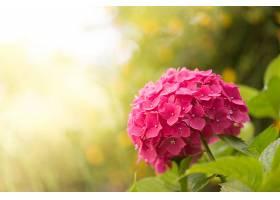 绣球花,花,自然,花,粉红色,花,Bokeh,快活的,壁纸,图片