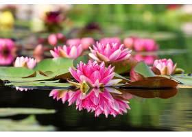 水,莉莉,花,自然,花,粉红色,花,反射,水,深度,关于,领域,壁纸,图片