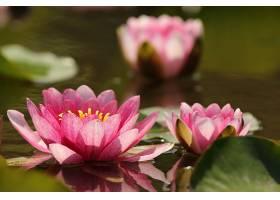 水,莉莉,花,自然,花,粉红色,花,壁纸,(1)图片