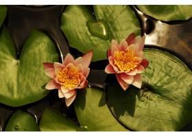 水,莉莉,花,自然,花,粉红色,花,壁纸,(2)图片
