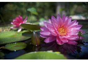 水,莉莉,花,自然,花,粉红色,花,水,壁纸,图片