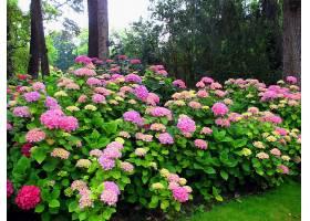 绣球花,花,花,公园,树,粉红色,花,壁纸,图片