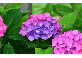 绣球花,花,花,叶子,粉红色,花,紫色,花,壁纸,图片