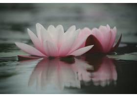 水,莉莉,花,自然,花,粉红色,花,特写镜头,反射,水,壁纸,图片