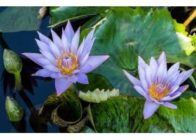 水,莉莉,花,自然,花,紫色,花,水,叶子,壁纸,图片