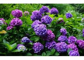 绣球花,花,花,叶子,绿色的,紫色,花,壁纸,图片