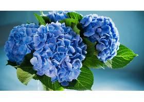 绣球花,花,花,叶子,蓝色,花,壁纸,(1)图片