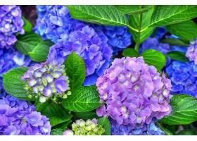 绣球花,花,花,叶子,蓝色,花,紫色,花,壁纸,图片