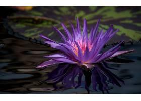 水,莉莉,花,花,特写镜头,紫色,花,壁纸,图片