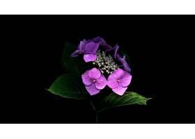 绣球花,花,花,特写镜头,叶子,紫色,花,壁纸,图片