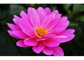 水,莉莉,花,花,粉红色,花,壁纸,图片