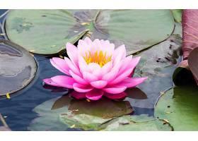 水,莉莉,花,花,粉红色,花,水,壁纸,(1)图片