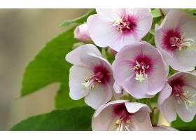 绣球花,花,花,特写镜头,粉红色,花,壁纸,图片