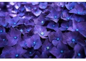 绣球花,花,花,特写镜头,紫色,花,壁纸,(1)图片