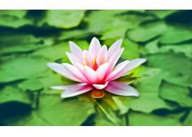 水,莉莉,花,花,粉红色,花,水,壁纸,图片