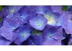 绣球花,花,花,特写镜头,紫色,花,壁纸,图片