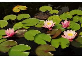 水,莉莉,花,花,粉红色,花,自然,壁纸,(1)图片