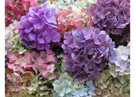 绣球花,花,花,特写镜头,紫色,花,白色,花,壁纸,图片