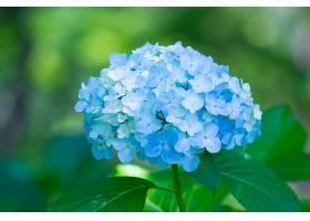 绣球花,花,花,蓝色,花,自然,壁纸,(1)图片