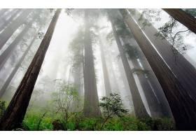 雾,森林,红杉,树,自然,壁纸,图片