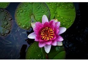 水,莉莉,花,莲花,特写镜头,叶子,莉莉,衬垫,水,滴,粉红色,花,壁纸图片