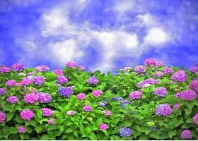 绣球花,花,花园,花,天空,紫色,花,蓝色,花,壁纸,图片