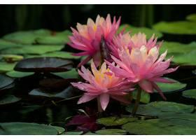 水,莉莉,花,莲花,自然,花,粉红色,花,特写镜头,壁纸,图片