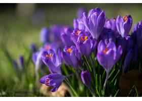 地球,藏红花,花,自然,巨,花,紫色,花,壁纸,图片